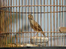 Burung Branjangan - Menu Bergizi untuk Burung Sanma, Pailing, dan Branjangan Agar Lebih Gacor