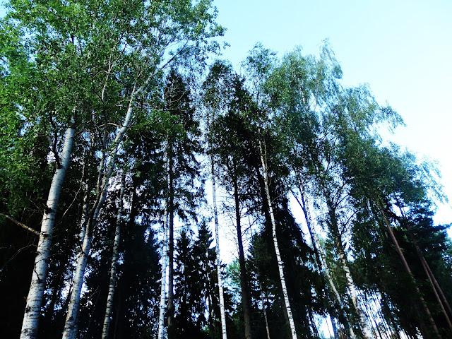 Estońskie brzozy