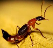 Imagem de um potó, inseto