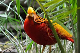 golden pheasant,golden pheasant beautiful birds