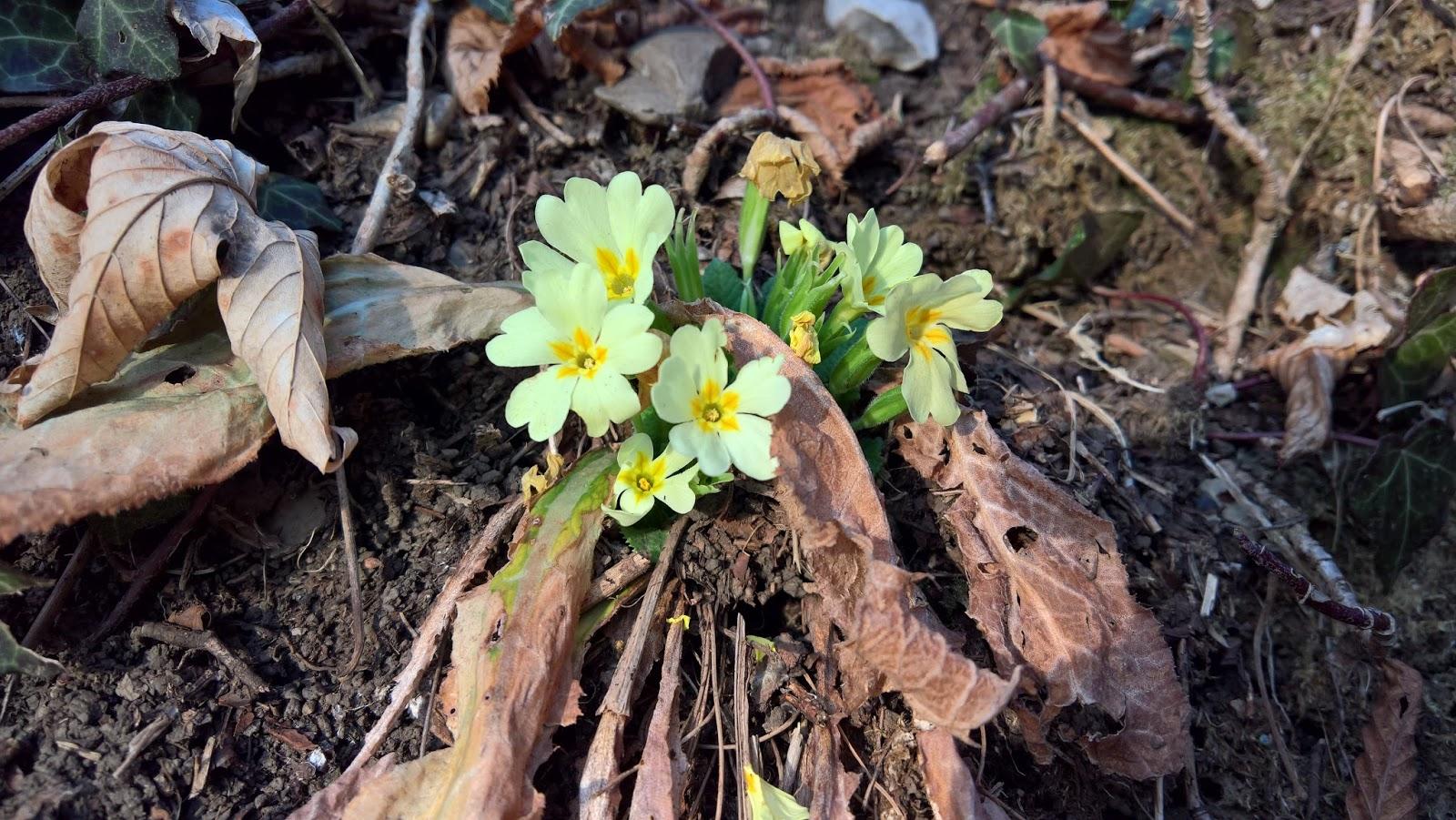 Primula vulgaris [Primulaceae].