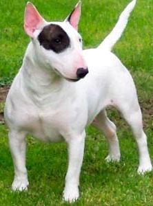 Foto de un perro Bull Terrier de raza mediana