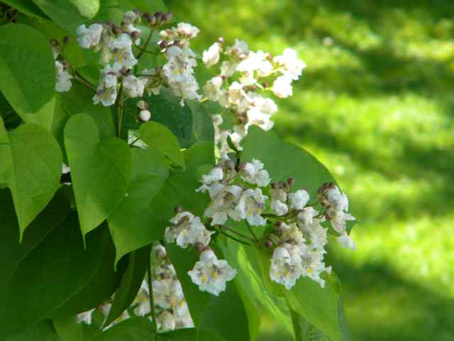 Heart shaped leaves with white flowers beautiful flowers 2019 what should i be doing with my bees this month catalpa trees catalpa trees catalpa trees are flowering right now they have big heart shaped leaves and mightylinksfo