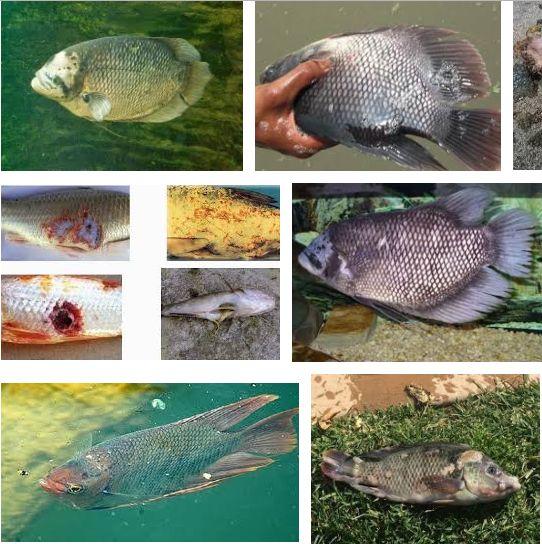 Hama dan Penyakit Ikan Gurame