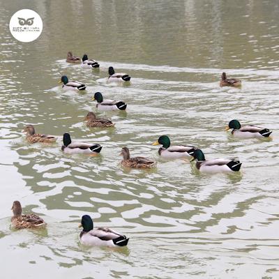 Ánade azulón (Anas pltyrhynchos) bando mixto de machos y hembras en el parque del Agua.
