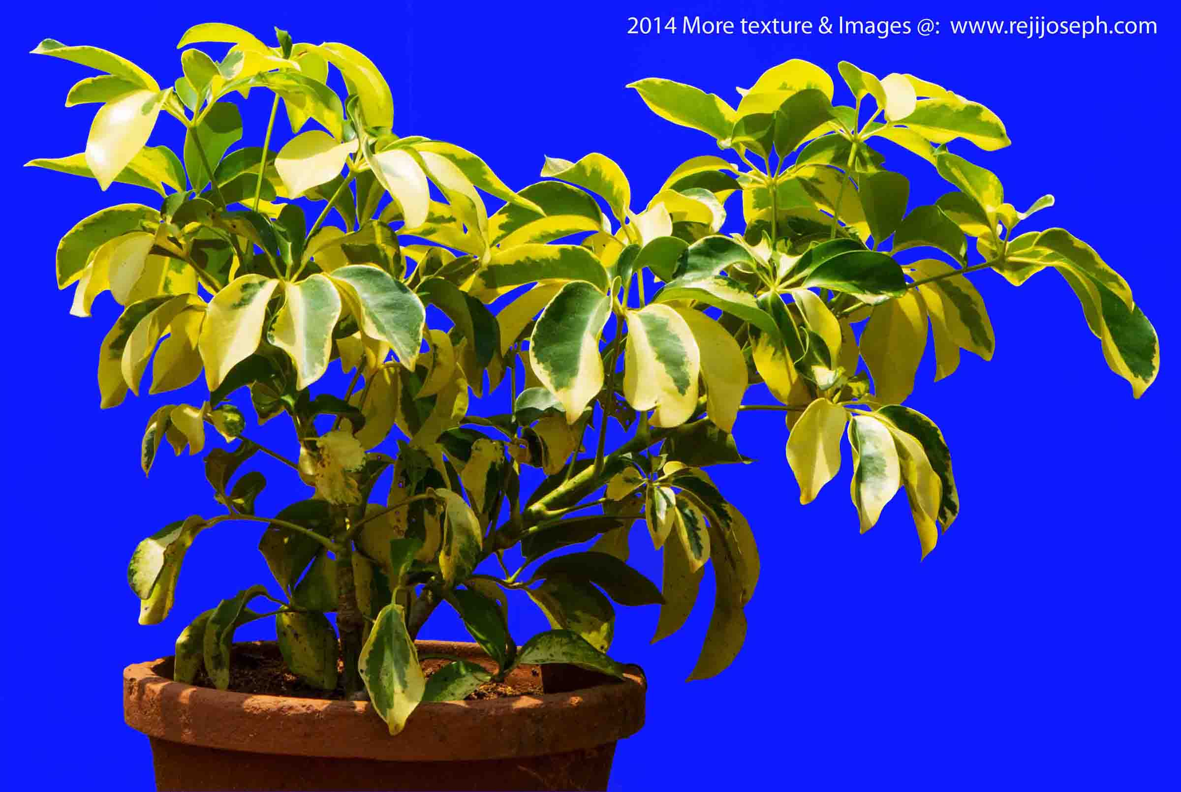 Croton Garden Plant Texture 00001