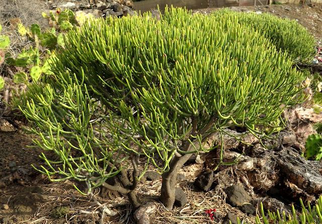 Euphorbia aphylla - Tabaiba parida 03