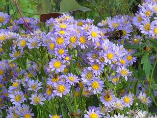 A flor de Áster é atraente por seus caules longos e suas várias cores em tons de aquarela. Há ásteres de muitas cores e formas, ficam bem em floreiras, vasos e jardins. São plantas que vivem três ou mais anos.