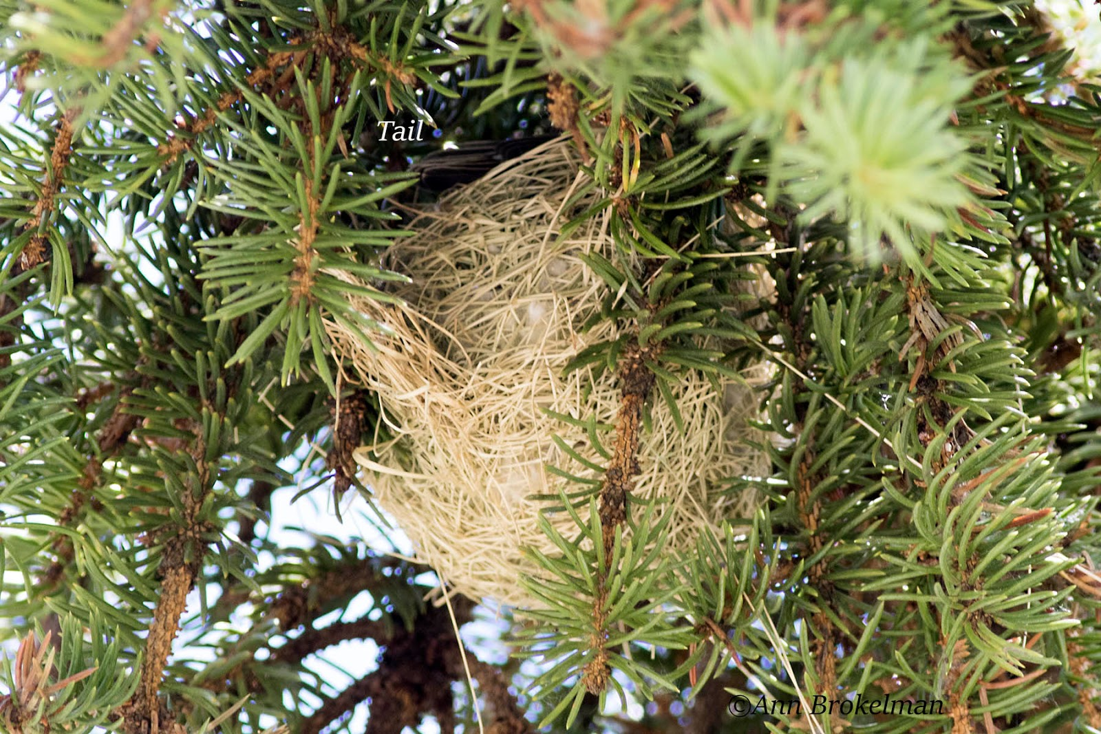 Orchard Oriole Nest - photo#14