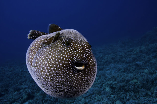 Guineafowl Puffer photo