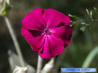 Silène coronaire - Silene coronaria - Coquelourde des jardins