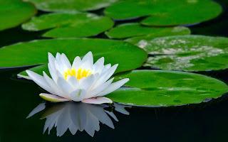 Bunga Teratai Air