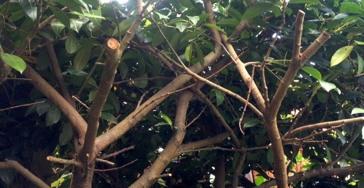 Wuchernde Kirschlorbeer-Hecke zurückschneiden
