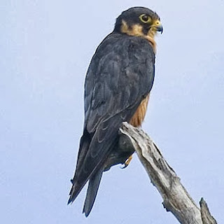 Halcón africano Falco cuvierii