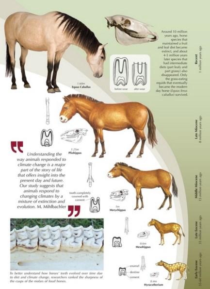 Jalur evolusi dari Kuda