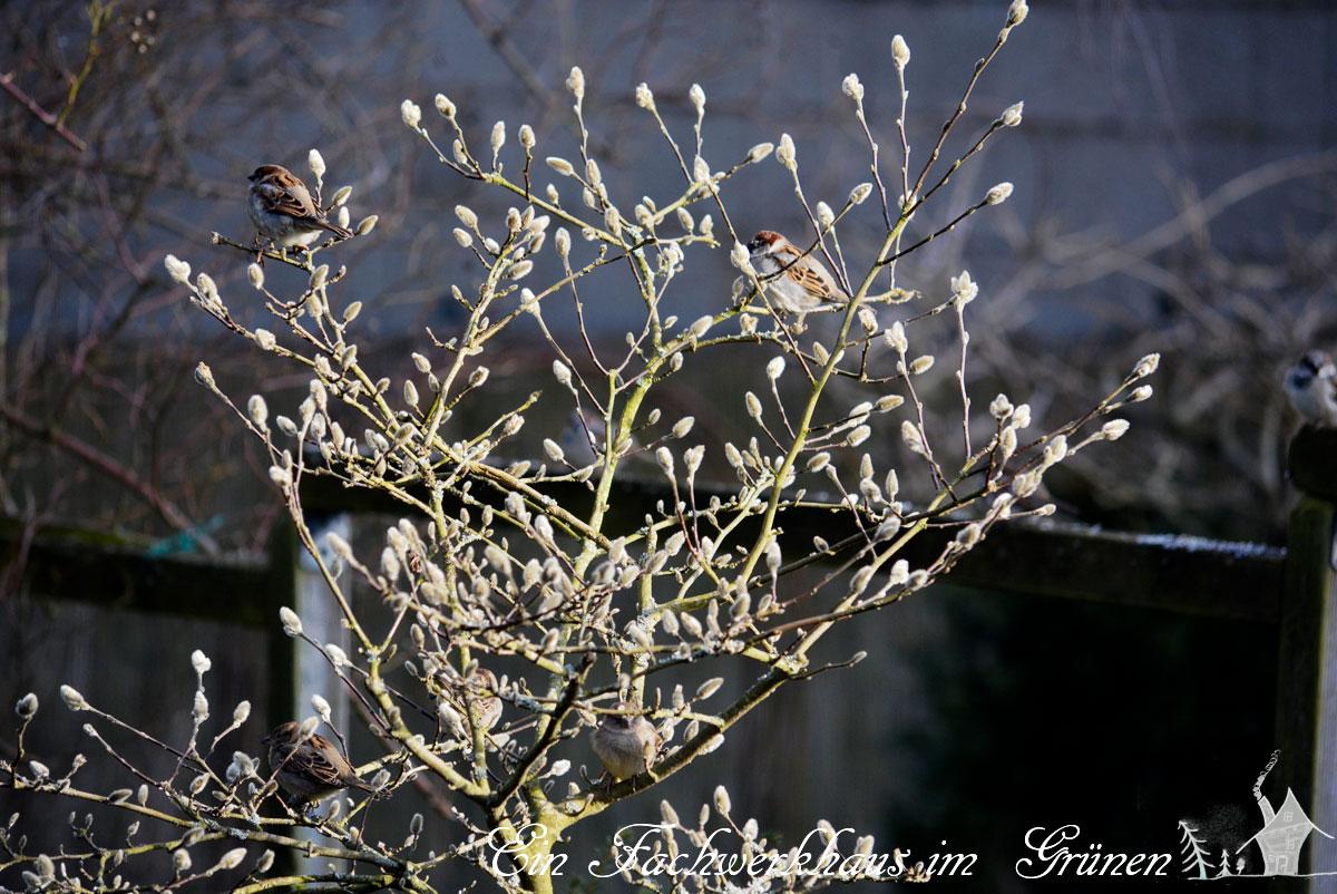 Spatz, Sperling, Gartenblog