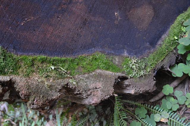 log cut turning green in spots