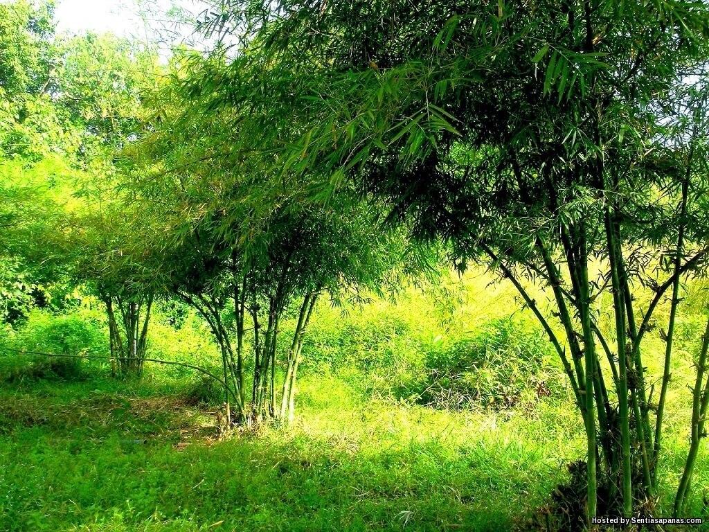 Pokok Buluh Rebung Madu