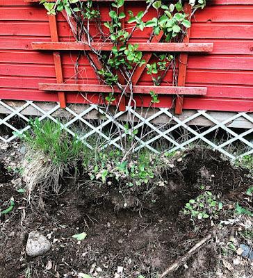 Kuusaman juuripaakku melkein siirtoa vaille valmiiksi kaivettu