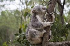 7 Fakta Menarik Tentang Pohon Eucalyptus (Eukaliptus)