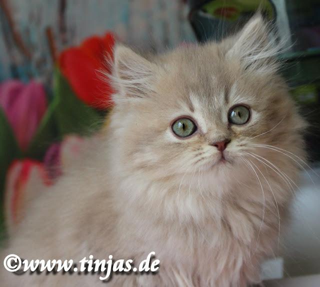 Britisch Langhaar Kitten 2017 lilac golden tabby