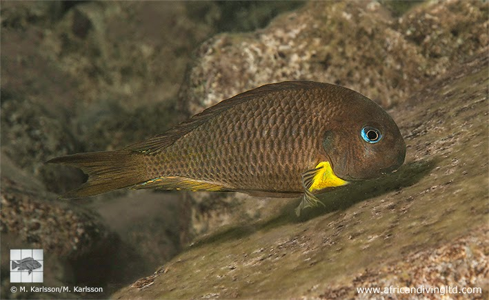 Perth Cichlid Society Forums