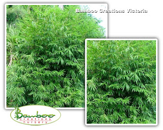 Bambusa Boniopsis bamboo or commonly known as Jade Goddess bamboo