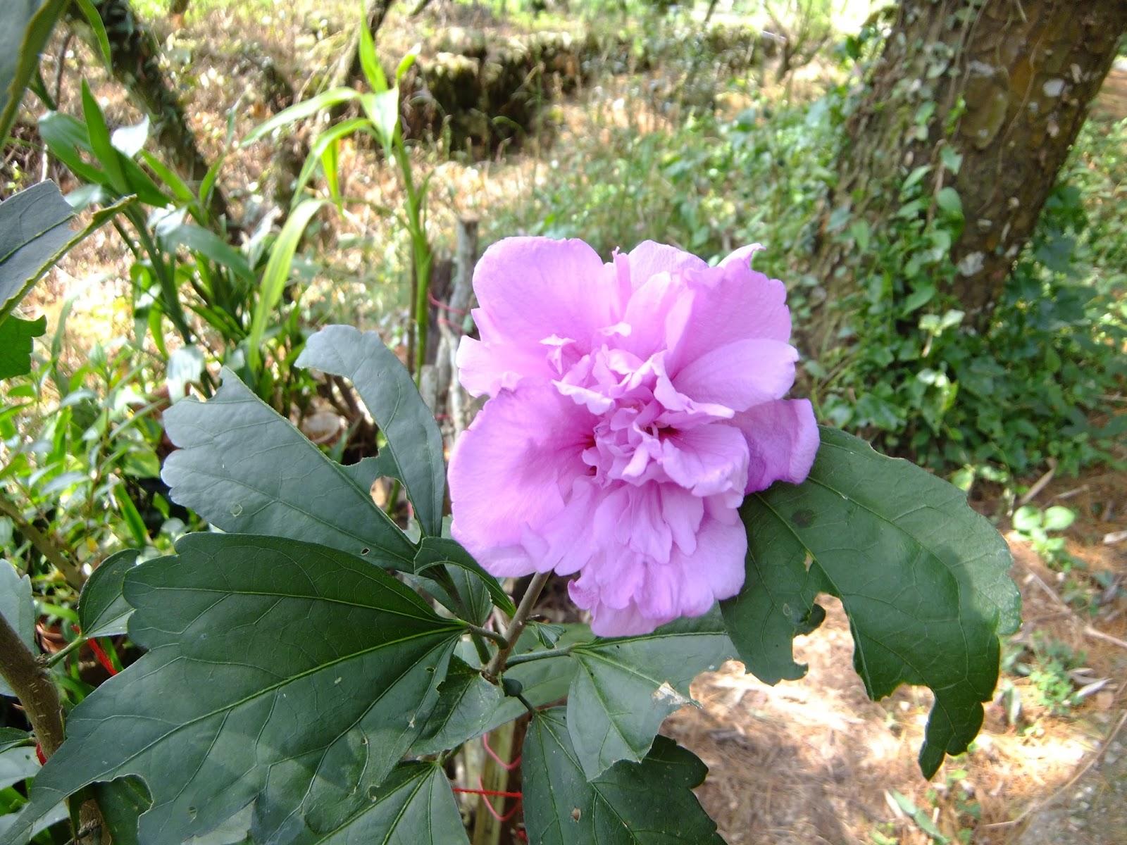 春暖花開: 木槿