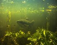 foto cover Waterplantenbeheer met graskarper (Foto voorzijde: W. Kolvoort)