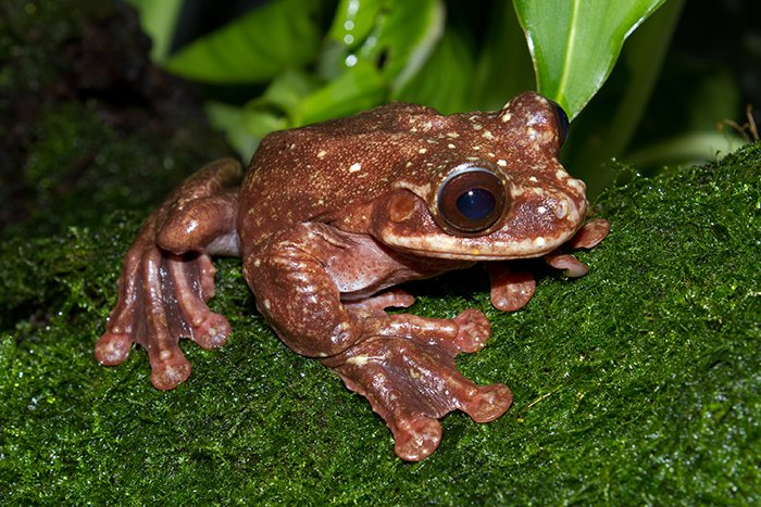 15 Animals That Are In Danger Of Extinction (Unless We Try To Protect Them) - Rabbs' Fringe Limbed Treefrog