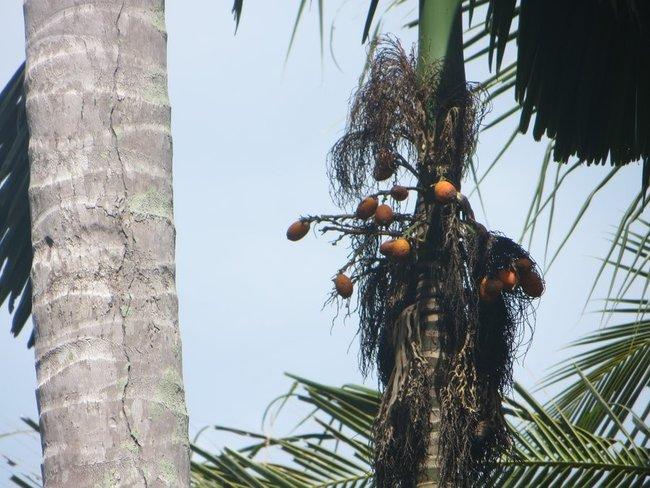 тайский фрукт на пальме