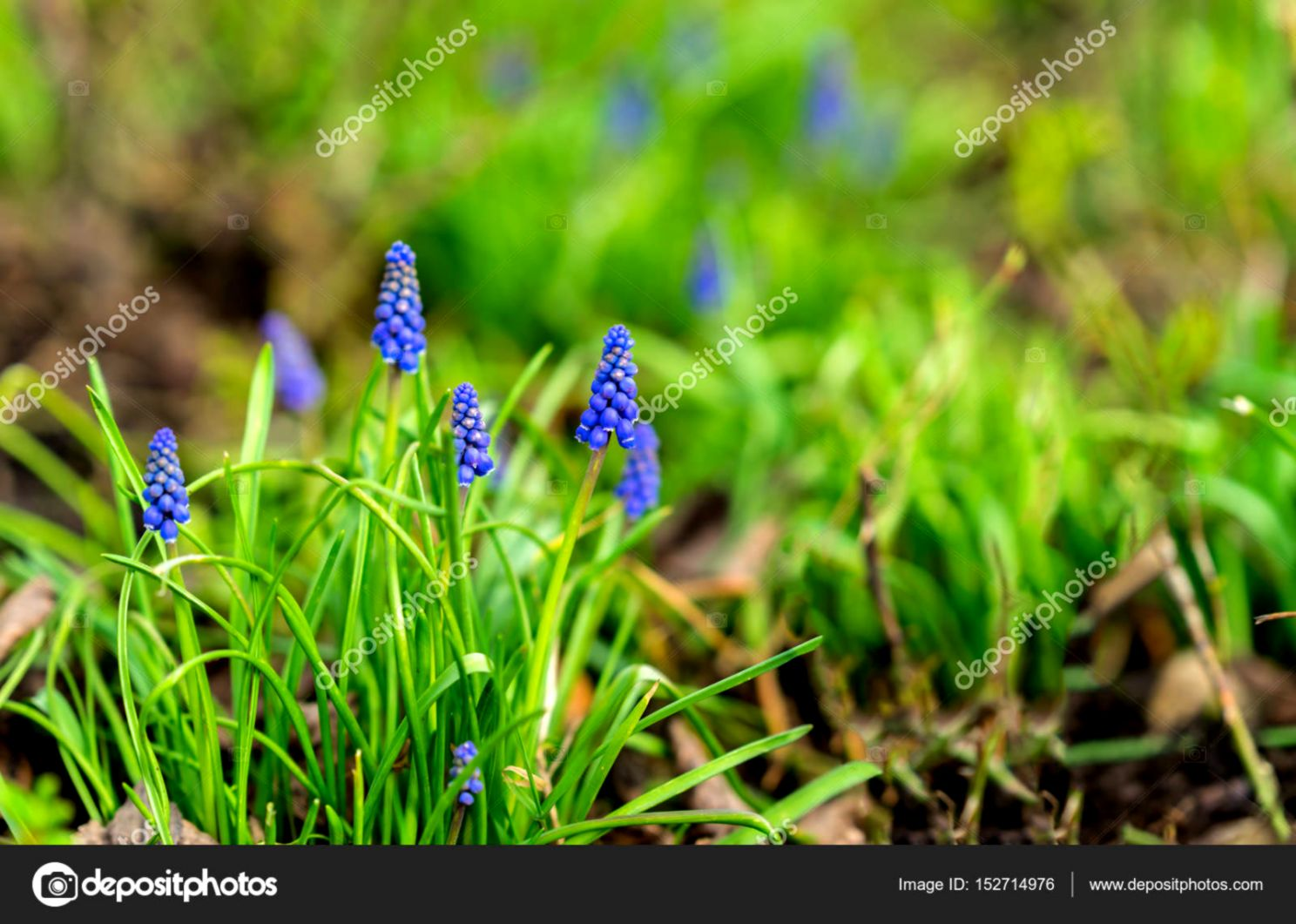 Natural flower background Beautiful muscari hyacinth blooming on