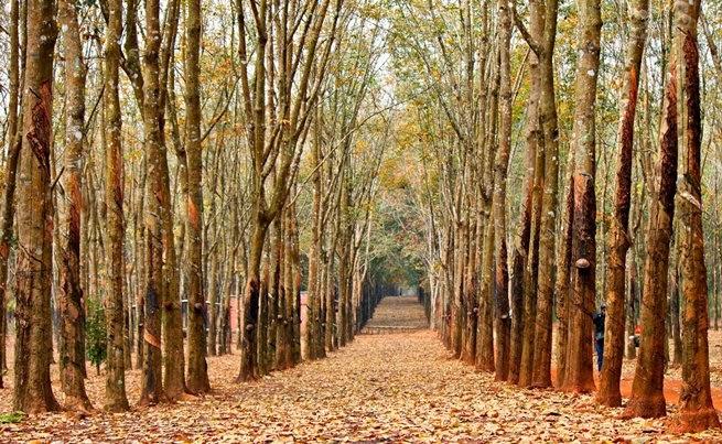 Gia Lai mùa lá rụng   Du Lịch Tây Nguyên