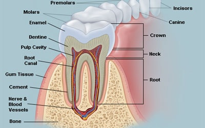 fungsi gigi