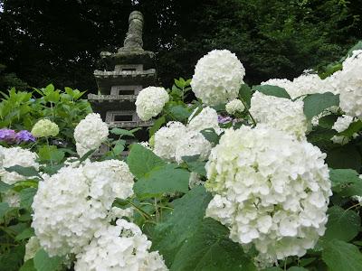 長谷寺のアナベル