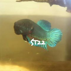 5 Star Betta Fighter Indonesia Origin