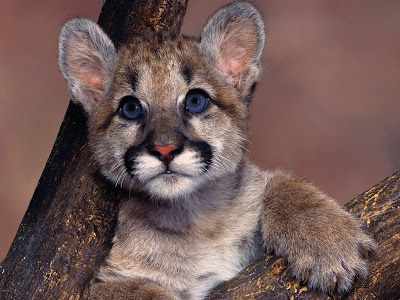 Baby Cougar Mind Refreshing Wallpapers
