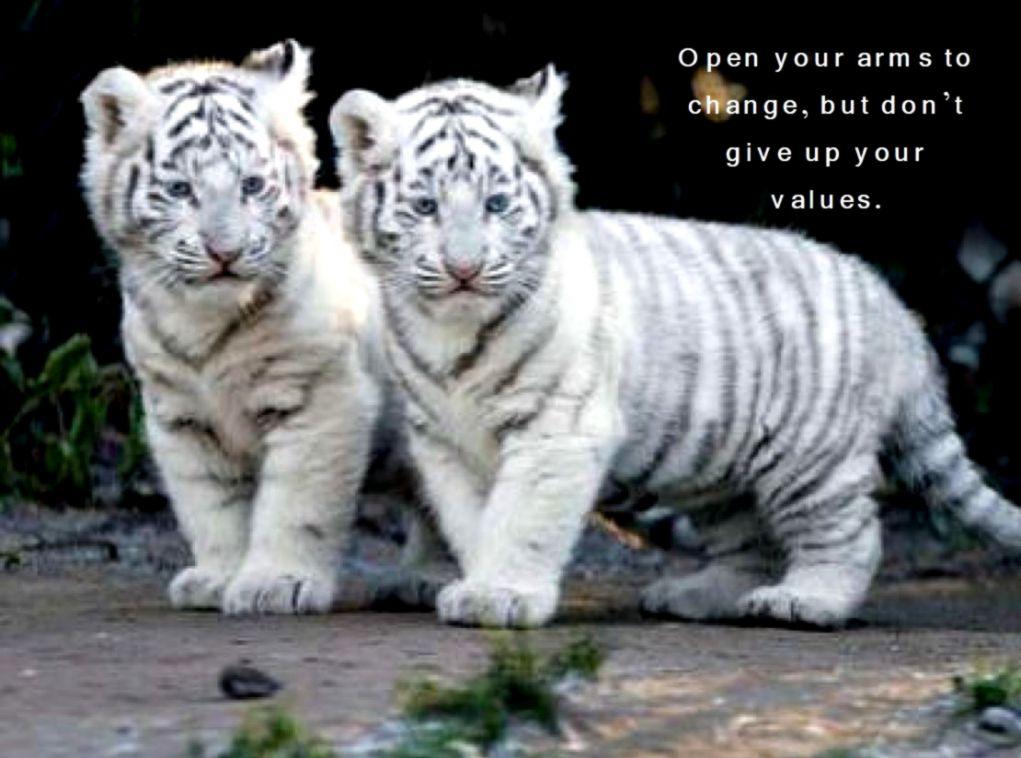 1fac0daa8 Cute Baby Tiger Cubs Id 104094 BUZZERG Chainimage