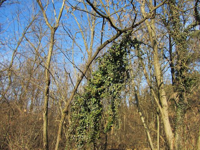 Edera sugli alberi del bosco