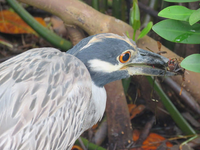 Yellow-crowned night heron spotted on Sanibel Island, Florida