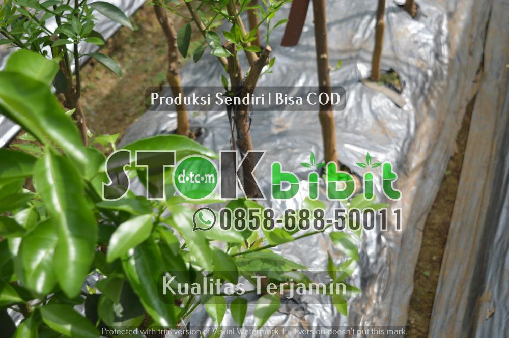 Ketebalan Durian Montong | durian pelangi    berkualitas     Grosir