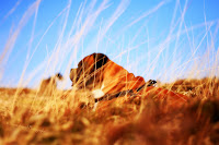boxer dogs resting in the dry grass