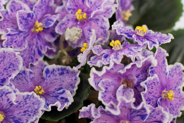 Violeta africana bicolor