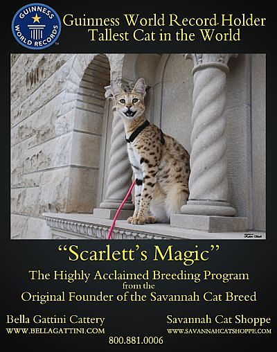 Cats and my Girl    : Savannah Cat Complete Breed Profile