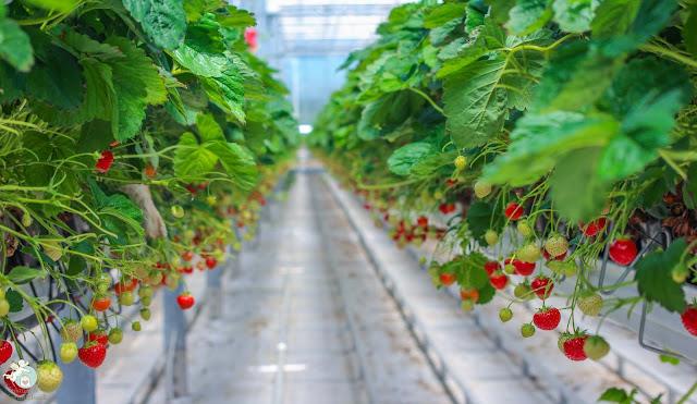 Erdbeeren aus dem Knoblauchsland Gewächshausanbau