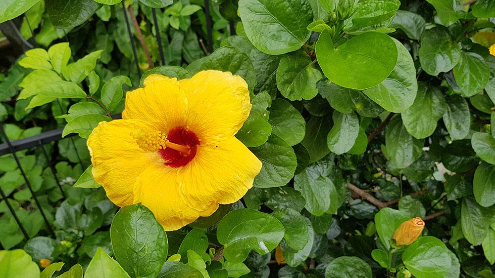 ดอกสีเหลืองของต้นชบา