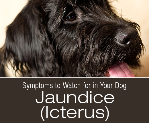 Symptoms to Watch for in Your Dog: Jaundice (Icterus)