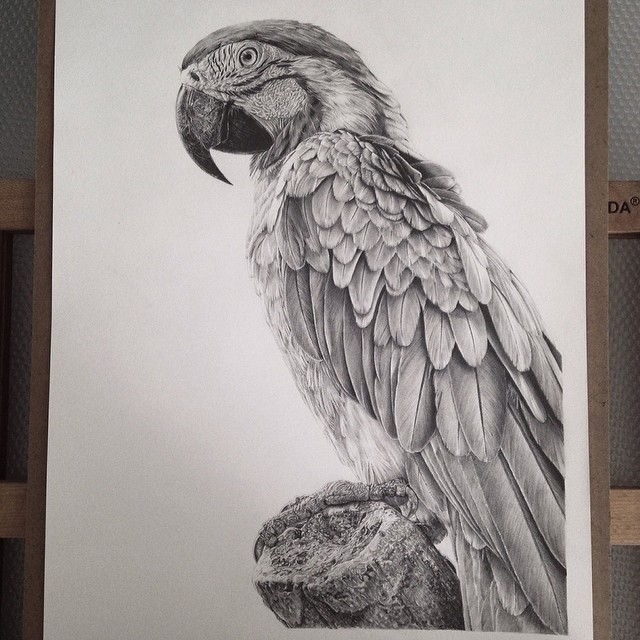 11-Parrot-Monica-Lee-zephyrxavier-Eclectic-Mixture-of-Pencil-Wild-Life-and-Portrait-Drawings-www-designstack-co