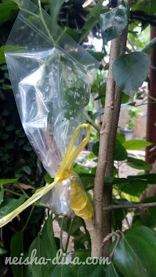Grafting Hibiscus (Rumah Bunga Neisha)