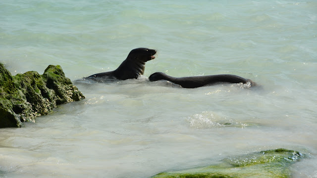 Gardner Bay Sea Lions